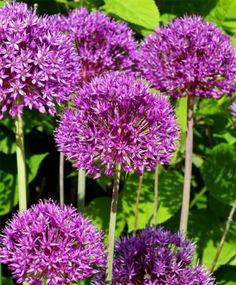 Allium aflatunense Purple Sensation - Allium - Fall 2015 Flower Bulbs