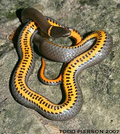 Diadophis punctatus: Ringneck Snake Adult from southern Illinois. Pretty Snakes, Cool Snakes, Beautiful Snakes, Reptiles And Amphibians, Mammals, Beautiful Creatures, Animals Beautiful, Spiders And Snakes, Cobra Snake
