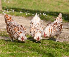 Hens like to take a dust bath to clean their plumage. If the hens have a range, they will look for a place with fine sand to bathe there. http://www.versele-laga.com/en-BE/countrysbest/Interesting-details/Laying-Hens/Beak #pettips
