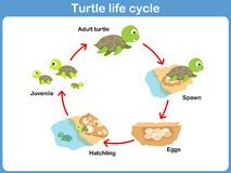 Illustration of Vector Cycle of turtle for kids vector art, clipart and stock vectors. Sequencing Activities, Science Activities, Activities For Kids, Sea Turtle Life Cycle, Cycle For Kids, Shapes For Kids, Kids Vector, Free Preschool, Preschool Kindergarten