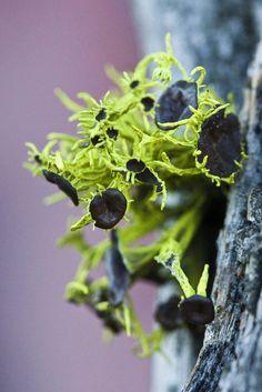 ˚Wolf Lichen
