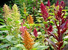 Amaranth  - I have this in the burgundy.  Also the trailing type in coral