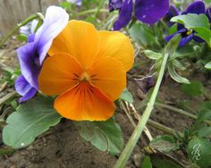 Orange Viola by GodsBeautifulEarth on Etsy