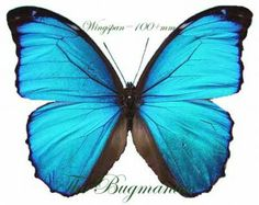 Morphidae : Morpho peleides peleides PAIR - The Bugmaniac INSECTS FOR SALE