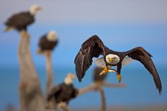 On The Fly by Buck Shreck on The Fly Ii, Homer Alaska, Photography Institute, Creature Of Habit, Popular Photography, Birds Of Prey, Beautiful Birds, Beautiful Creatures, Eagles