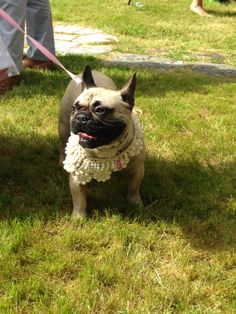 Mia, the French Bulldog at her mommy & daddy's wedding :)