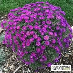 Purple Dome is a New England type aster that blooms in early fall with hundreds of deep lavender-purple flowers. This dwarf plant has a neat mounding habit and is a perfect choice to edge pathways and fill small spaces. Purple Flowers, Wild Flowers, Purple Daisy, Deep Purple, Winter Flowers, Purple Flowering Plants, Butterfly Plants, Butterflies, High Country Gardens