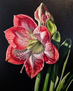 Light of the World 1  Red and White Amaryllis Original Acrylic Painting by Michelle C. East ©