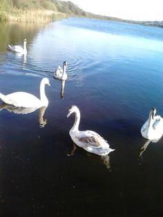 Rostellan lake Swan, Animals, Swans, Animales, Animaux, Animal, Animais