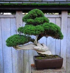 B is for bonsai Indoor Bonsai, Bonsai Plants, Bonsai Garden, Japanese Bonsai Tree, Bonsai Tree Care, Bonsai Trees, Plantas Bonsai, Juniper Bonsai, Miniature Trees
