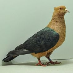 Archangel Pigeon | Champion Rare Pigeon