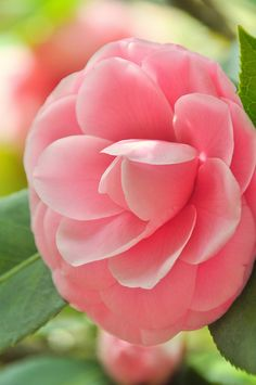 Pink Camellia- our tree has over 50 blooms! amazing in Feb.!