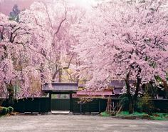 写真で眺めるよりも、実物が何倍も素晴らしい角館武家屋敷通りのしだれ桜を見に行こう。景色の素晴らしさは、圧巻の一言!ハイカラ館にも立ち寄って、レトロでオシャレな観光コースを楽しもう。