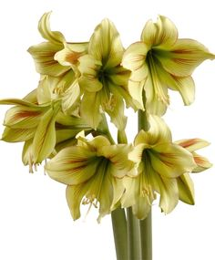 Amaryllis Graffiti - Christmas Flowering Miniature Amaryllis - Amaryllis - Flower Bulb Index