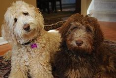 Double doodle ( goldendoodle and labradoodle mix) | My favorite ...