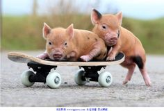 Super Adorable Piggies Ride on Skateboard Pet Pigs, Baby Pigs, Guinea Pigs, Pocket Pig, Baby Animals, Cute Animals, Cute Piglets, Teacup Pigs, Mini Pigs