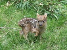 This #adorable 1-pound #fawn is the newest member of the world's smallest deer species. #cute