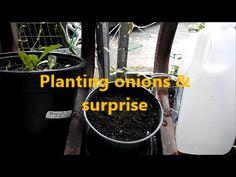 Planting onions & surprise