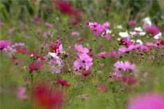 More bee friendly flowers.. these are cosmos