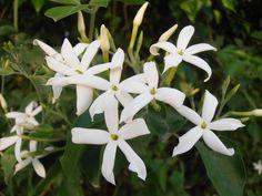 El Jazmín, la flor del perfume.