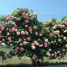 Awesome Eden Rose Garden To Enhance Your Beautiful Garden Beautiful Roses, Beautiful Gardens, Eden Rose, Rose Bush, Traditional Landscape, Garden Cottage, Garden Pictures, Climbing Roses, Cottage Gardens