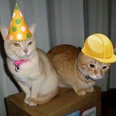 Sophie & Franko are ready to start the party a little early! Everyone wear your yellow to ring in the New Year! yellowhatsforcats.com #celebrate #partyhat #newyear #itsfriday #friyay #itstheweekend #party #pawty #cats #catsofinstagram #photooftheday #catstagram #adoptdontshop #animalrescue #helpkids #helpcats #makeadifference : @twomorecats