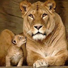 Awww, bless!! #lion #cub #baby #photooftheday #cute #petstagram #supercute #pet #dogs #tagsforlikes