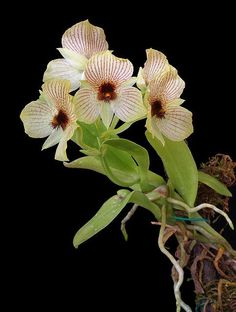 Telipogon campoverdei by thomas_orchids on Flickr....