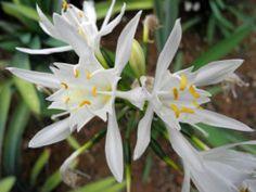 Kanaren Trichternarzisse Blüte weiß Pancratium canariense