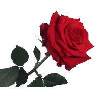1 tot 10 lange rode rozen  Vanaf: €7,00
