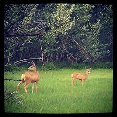 Look what Warner College spotted! A mule deer&fawn roaming around #Colorado #wildlife