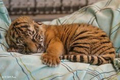 A tiger cub in a nursery at the Cincinnati zoo Baby Animals Super Cute, Cute Little Animals, Cute Funny Animals, Baby Animals Pictures, Cute Animal Pictures, Animals And Pets, Wild Animals, Baby Tigers, Cute Tigers