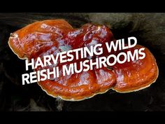 Harvesting Wild Reishi Mushrooms - YouTube