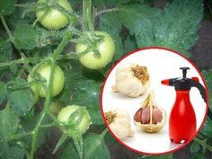 Oprysk z czosnku na pomidory