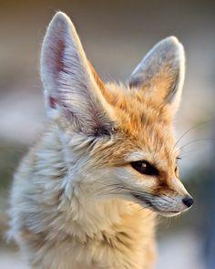 Fennec Fox, I WANT ONE!!!!!