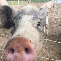 What are you looking at? Curious pigs looking through the fence at me snapping.  #pigs #freerange #plottoplate #allotment #community #giy #gyo #smallholder #smallholding #herd #pigherd #irishfood # # #
