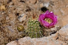 Echinocereus engelmannii subsp. fasciculatus, USA, Arizona, Pinal Co.  More Pictures at: http://www.echinocereus.de