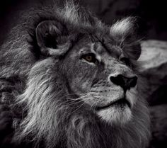 lion photography | Full View and Download Lion Black And White Photo with resolution of ...