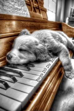 Adorable Baby Spaniel Puppy taking a Nap on the Piano