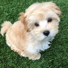 Cute Baby Dogs, Cute Little Puppies, Cute Dogs And Puppies, Cute Baby Animals, Doggies, Poodle Mix Puppies, Maltipoo Puppies For Sale, Free Puppies, Mixed Breed Puppies