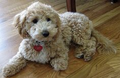 Also known as a Poochon or Bichon Poodle, the Bichpoo is a mix of a Bichon Frise and a Toy (or Miniature) poodle.
