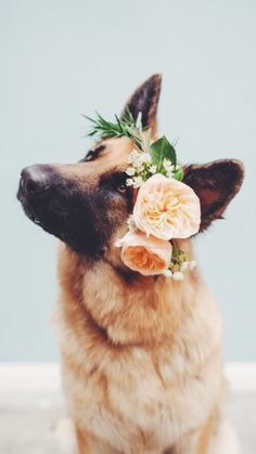 Baby German Shepherds, German Shepherd Puppies, Beautiful Dogs, Animals Beautiful, German Shepherd Wallpaper, Really Cute Dogs, Dog Tumblr, Dog Wallpaper, Schaefer