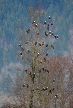 Fifty-five Bald Eagles in one tree along the Nooksack River in Washington State