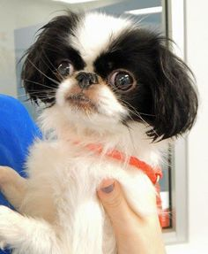 Japanese Chin. I WILL OWN ONE ONE DAY