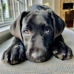 Do you ever feel like you love your dog too much? Do you ever feel like you love your dog too much? Lab Puppies, Cute Dogs And Puppies, I Love Dogs, Doggies, Cute Funny Animals, Cute Baby Animals, Schwarzer Labrador Retriever, Baby Animals Pictures, Little Dogs