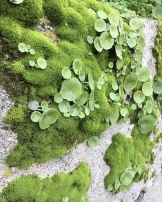 Mais uma planta cheia de propriedades medicinais que relembra a infância