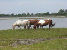 Wild Horses on Assateague Island, MD  2010