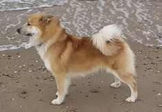 Icelandic Sheepdog | Icelandic Sheepdog Information and Pictures, Iceland Sheepdog