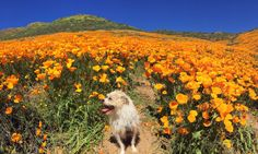 9 Magical Photos of Californias Wildflower Super Bloom