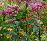 Joe Pye Weed (Eupatorium purpureum) zones 5-10 Plant this prairie native and welcome hummingbirds, bees and butterflies summer through fall. It requires consistently damp soil.